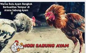 taruhan ayam terpopuler