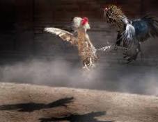 taruhan ayam terlaris